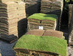 tipos de gramas - grama zoysia