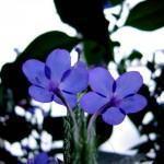 Clerodendro azul (Condodendro ugandense)