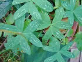 Ervas daninhas ornamentais  -  Oxalis