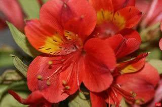Astromélia (Alstroemeria caryophyllacea)