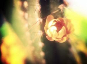 Cacto verde-e-amarelo ( Cereus hildemannianus )