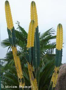 Cacto verde-e-amarelo