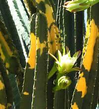 Cacto verde-e-amarelo em flor