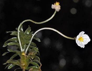 Elódea flor