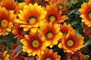 floreiras  gazania