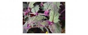 Ginura ou veludo-roxo (Gynura sarmentosa)