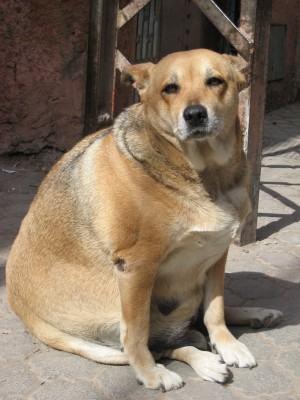 Obesidade em Pets - Cachorro Gordo
