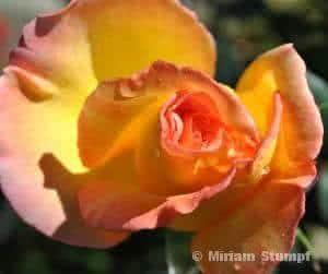 Óleos essenciais  - o  oleo-rosas