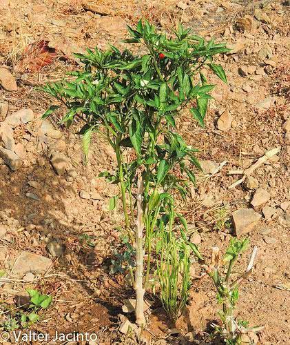 pimenta-plantio