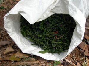 Pimenta do reino (Piper nigrum L.)