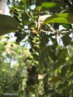 pimenta do reino frutos
