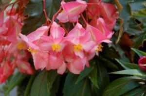 Begônia Híbrida (Begonia hybrida Hort. Ex Steud.)