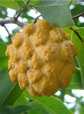 Araticum do mato (Rollinia sylvatica)