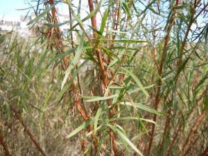 Estragão (Artemísia dracunculus)