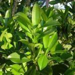 Capororoca (Rapanea ferruginea)