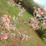 Cipó-prata (Banisteriopsis oxyclada)