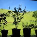 Temperos: Misturando Ervas em Vaso e em Casa