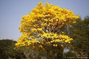 Plantas Nativas do Cerrado