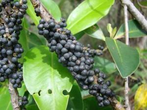 Capororoca - myrsine com frutos