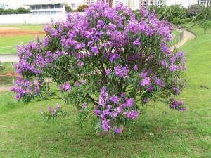Quaresmeira-roxa (Tibouchina granulosa) Ceret Park Sao Paulo. Brazilian native tree