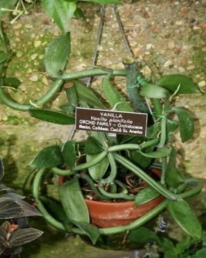 Plantas Medicinais em vasos Vanilla (Vanilla planifolia)