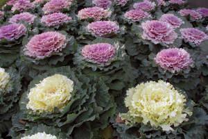repolho ornamental