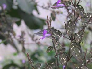 confete hypoestes phyllostachys flores