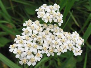 mil-folhas (Achileia millefolium)