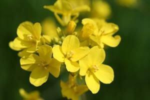 flor do nabo