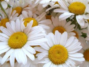Margaridas – Um nome popular para diferentes flores