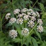 Kummel ou alcaravia (Carum carvi L.)