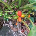 Aglaonema (Aglaonema crispum)
