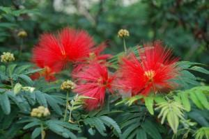 Caliandra ou Esponjinha (Calliandra brevipes)