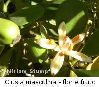 Clusia (Clusia rosea)