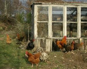 passaros e insetos na horta solução galinhas