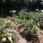 Coberturas de solo – Mulch o que é, como funciona?