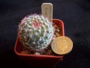 Cacto Mammillaria