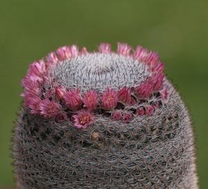 Cacto Mammillaria (Mammilaria ou mammillaria)