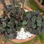 Peperomia marrom (Peperomia caperata)