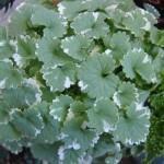 Glecoma ou hera-de-canteiro (Glechoma hederacea Variegata')