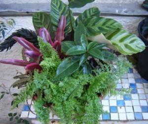 Glechoma-variegata