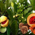 Noz-Moscada (Myristica fragans)