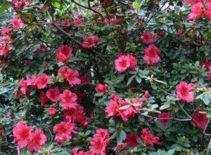 Como plantar a Azaleia (Rhododendron simsii)