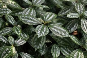 Planta Alumínio (Pilea cadierei)