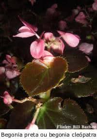 begonia preta