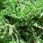 Pinheiro Rasteiro ou Tuia-Jacaré (Juniperus horizontalis)