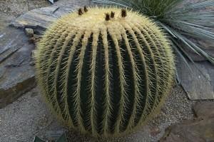 Cacto-bola ou Cadeira-de-Sogra (Echinocactus grusonii)
