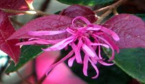 Hamamelis (Loropetalum chinensis)