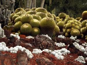 cacto-bola, echinocactus grusonii,