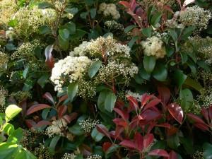 Fotinia photinia x fraseri fazf cil for Arbuste d ombre persistant